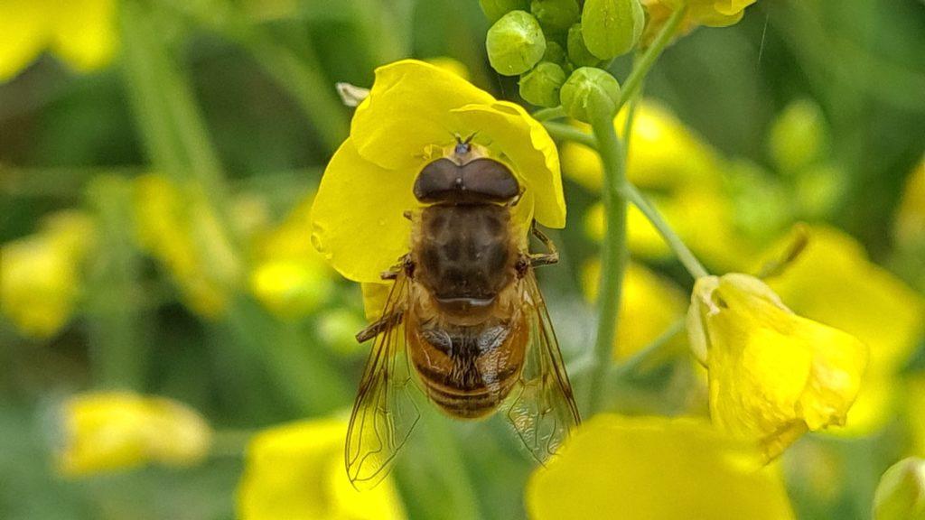 Wildbiene auf Rucola Blüte