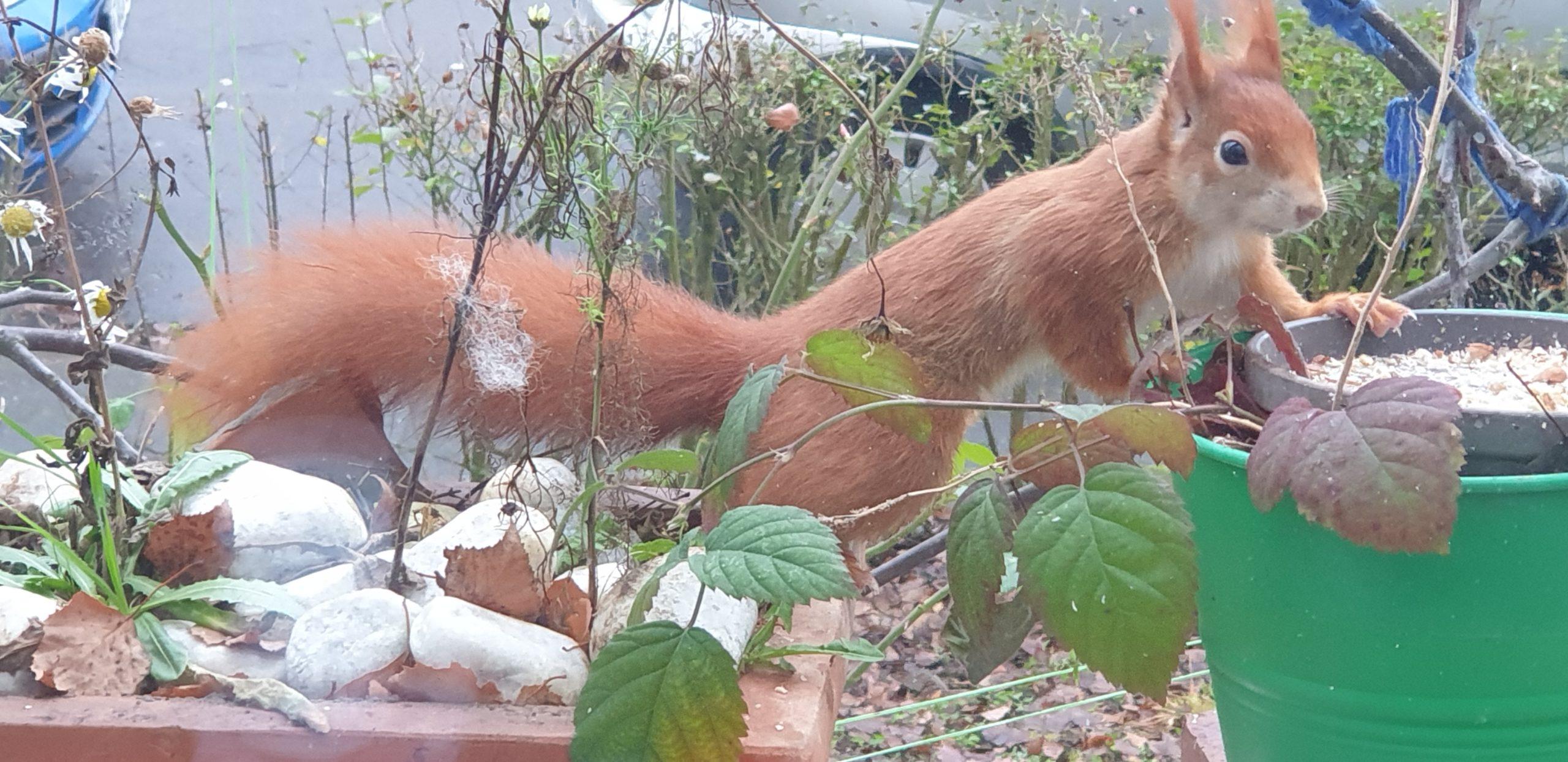 Eichhörnchen zum 2. Advent